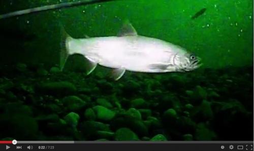 poissons du Léman
