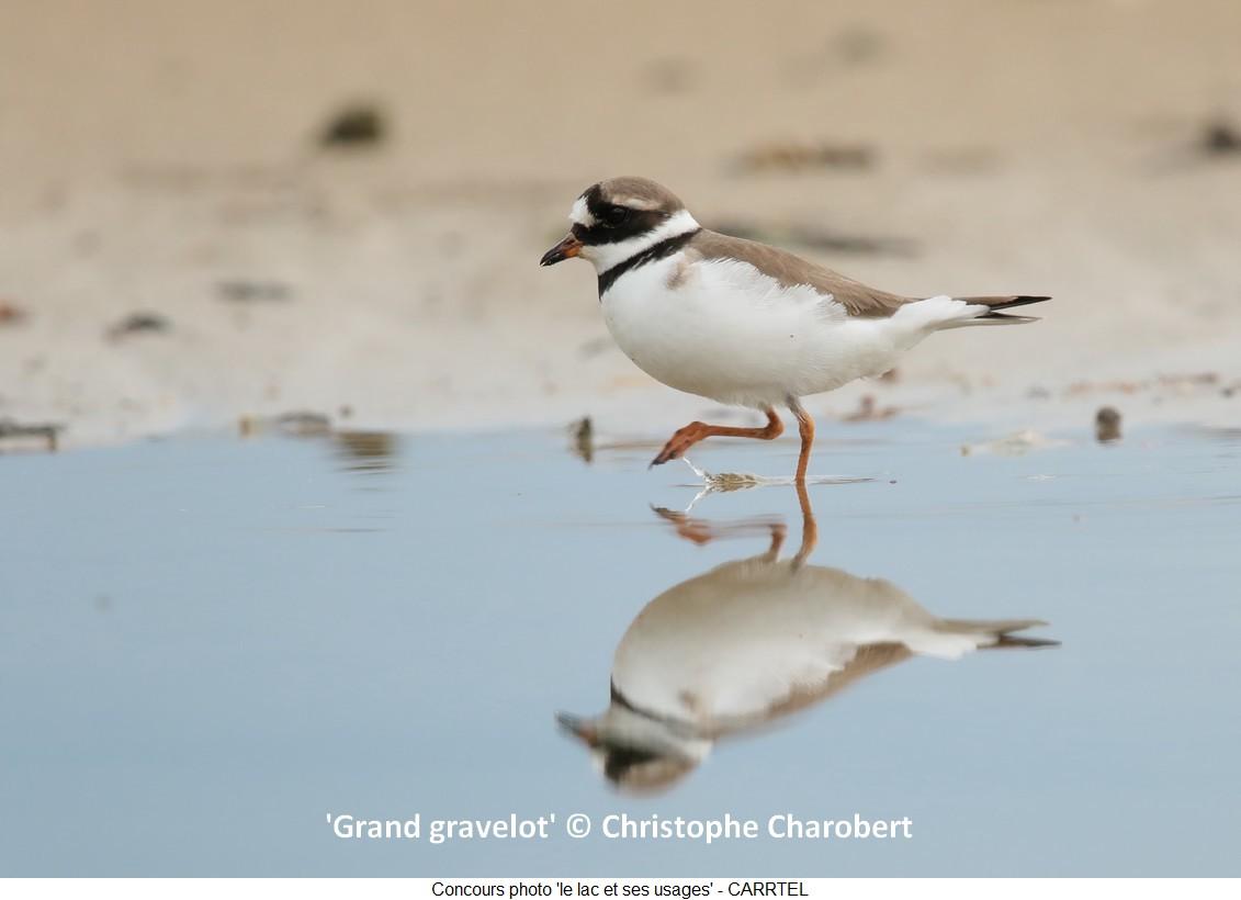 'Grand Gravelot' © Christophe Charobert