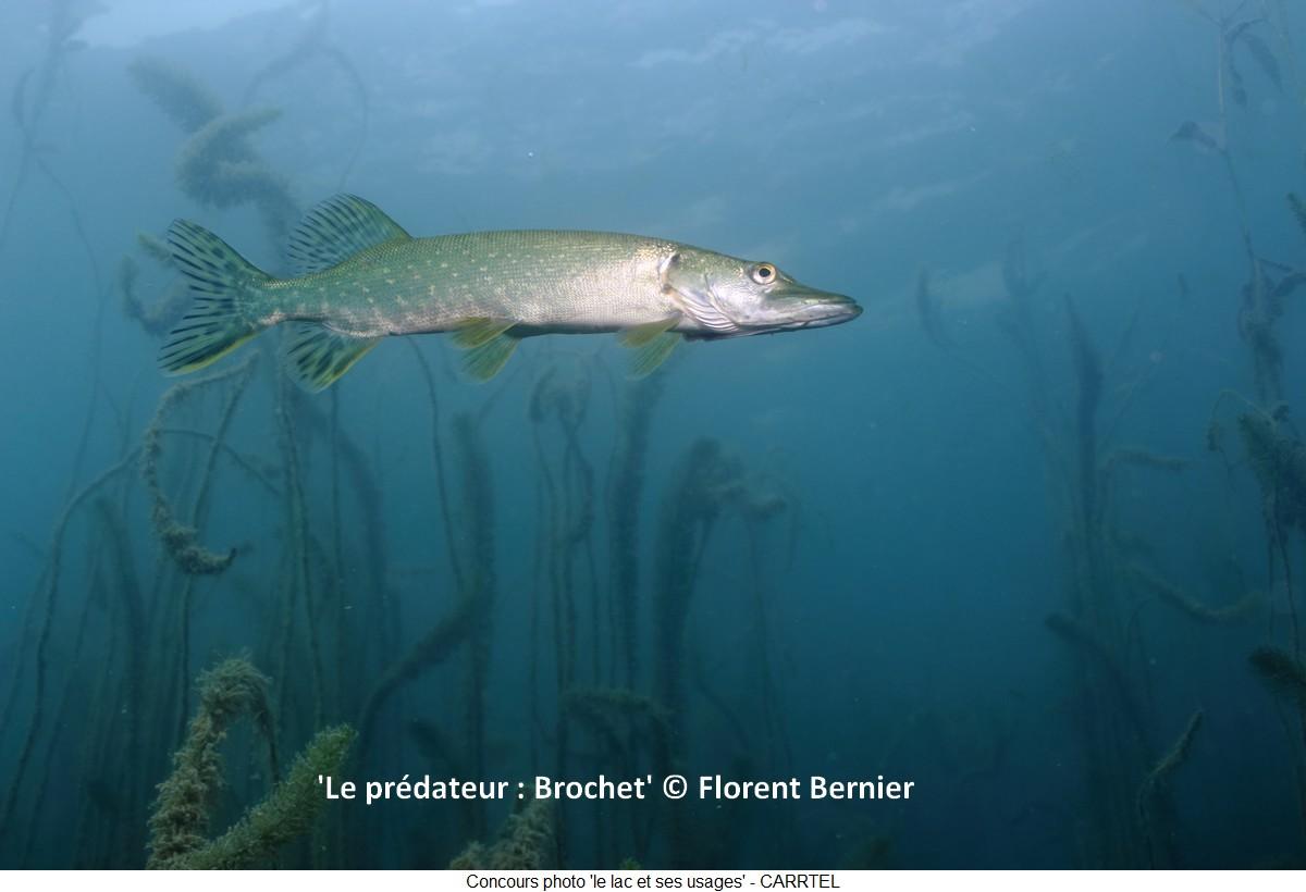 'Le prédateur : Brochet' © Florent Bernier