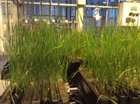 Wheat plants growing in our custom-made plexiglass rhizotrons.